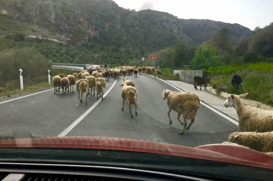 Auf eine unerwartete Begegnung muss man immer rechnen, deswegen ist sicheres Autofahren auf Kreta so wichtig.