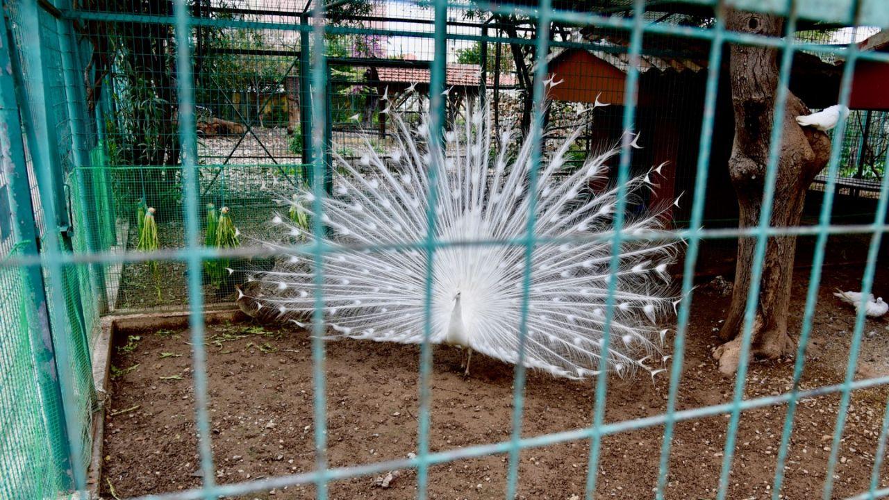 Weißer Pfau im Stadtpark Chania